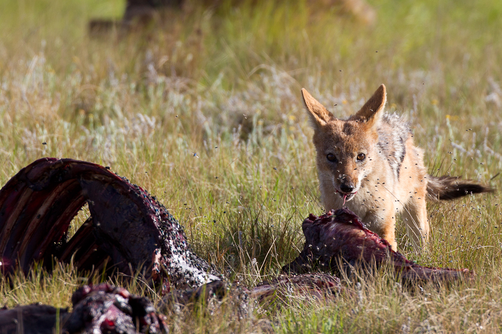 A jackal braves the flies to get a bite to eat.