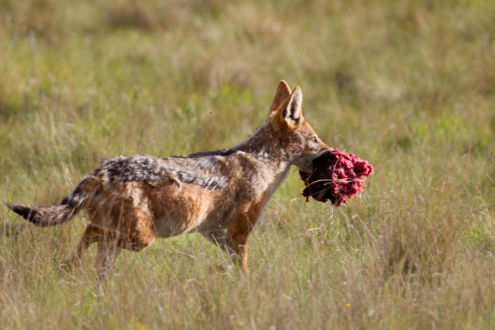 Then the jackal makes off with a mouthful.
