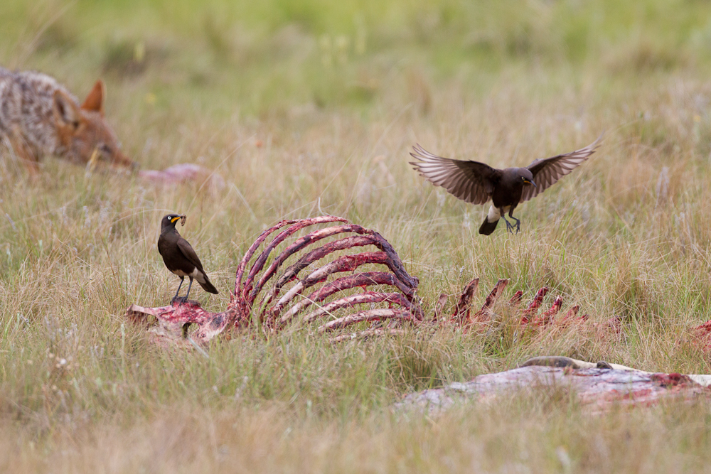 Vultures didn't land for us, but we saw plenty of other birds around the carcass, including these pied starlings.