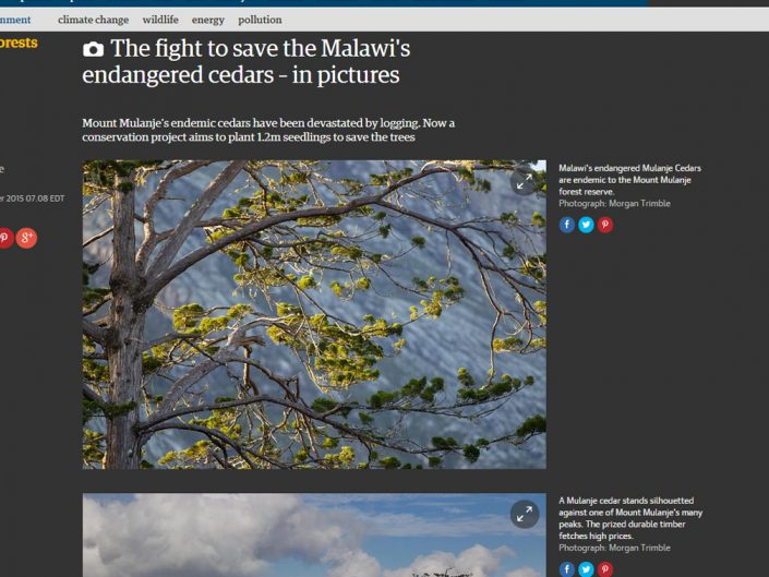 The fight to save Malawi's endangered cedars – in pictures