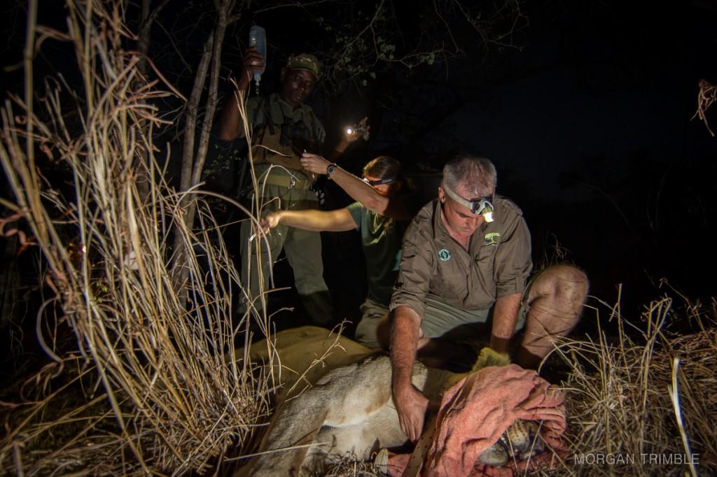 Craig Hay, Dr Amanda Salb, Tizola Moyo change a lioness's GPS collar