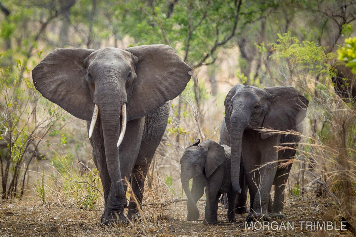 Majete Wildlife Reserve Elephant Herd