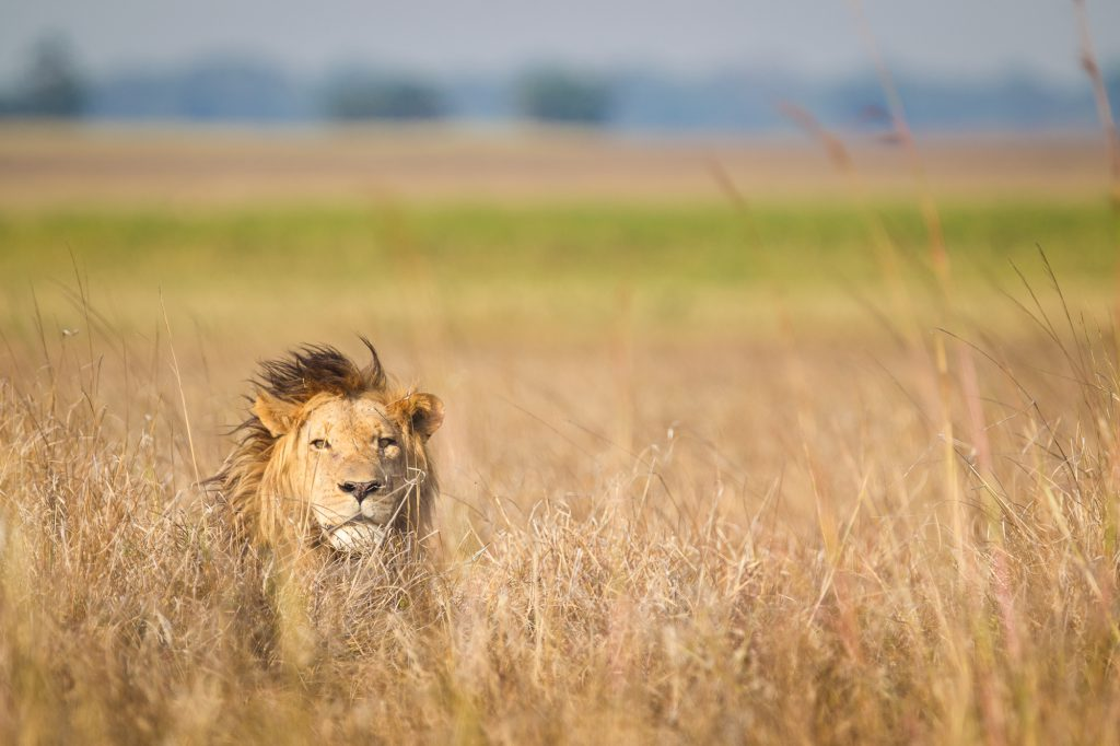 Lion in Busanga Plains