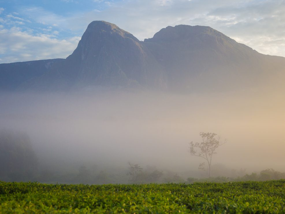 Mount Mulanje is an imposing granite massif that rises abruptly from the tea estates of southern Malawi; the top of the steep-sided plateau grows the endemic and critically endangered Mulanje cedar