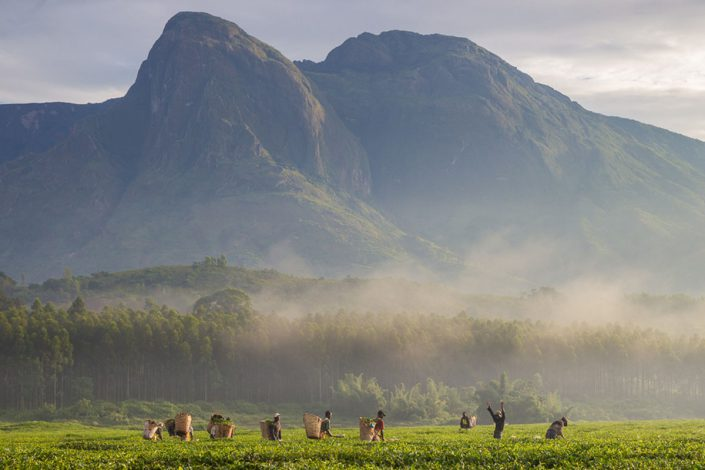 One of the problems driving tree poaching is a lack of economic opportunity. Tea picking is one formal industry around Mount Mulanje.