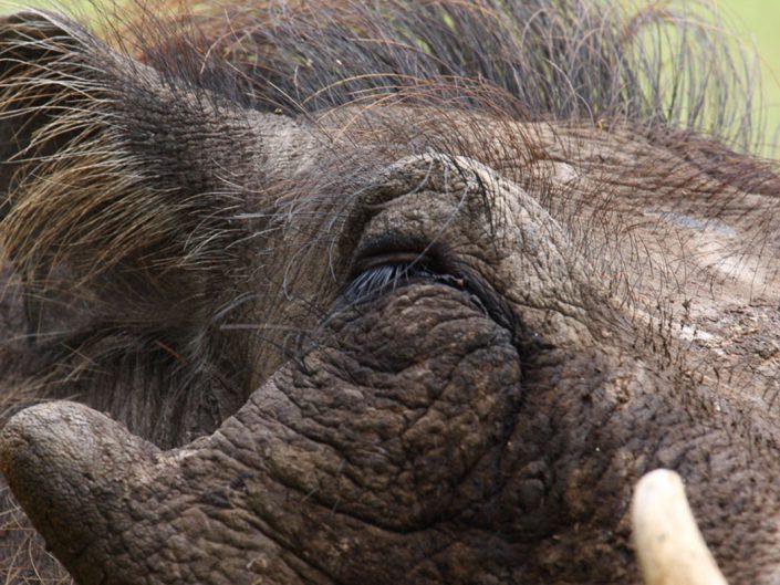 Warthog - Queen Elizabeth National Park - Uganda