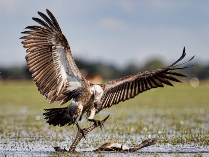 White-backed Vultures (Gyps africanus) scavenge and feed on lechwe carcasses in Bangweulu, Zambia.