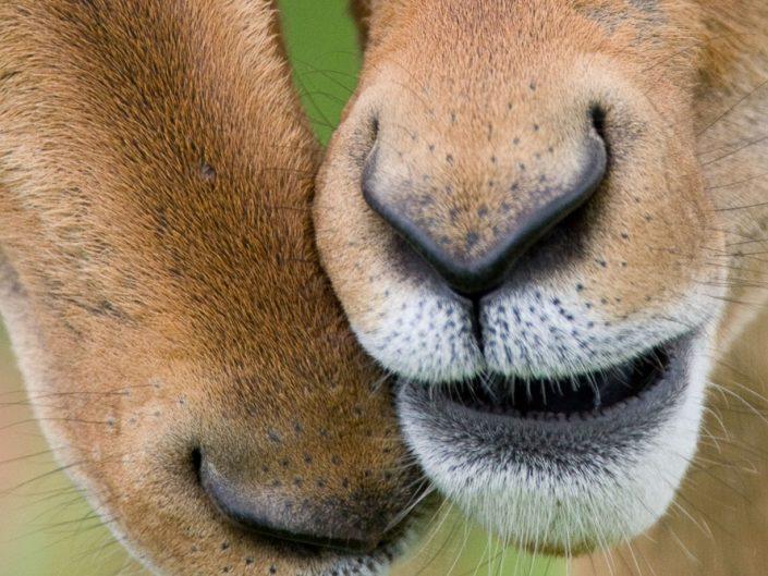 Impalas - Kruger National Park - South Africa