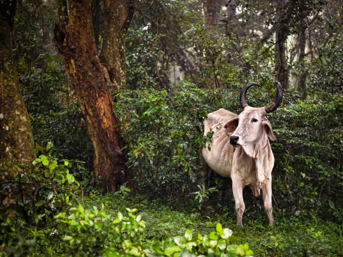 An Nguni cow emerges from the sacred Ngoye Forest on a misty day in KwaZulu-Natal, South Africa.