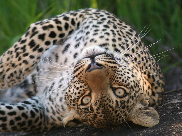 Leopard - Elephant Plains Game Reserve - South Africa