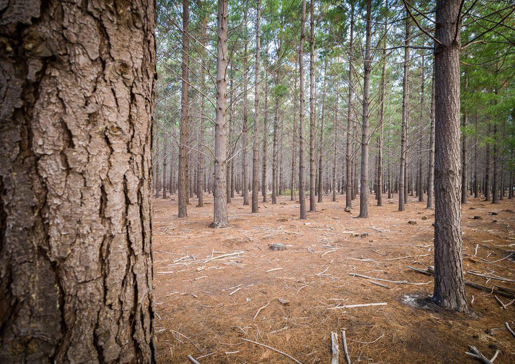 Exotic pine plantation, Lower Tokai, Table Mountain National Park, 2017