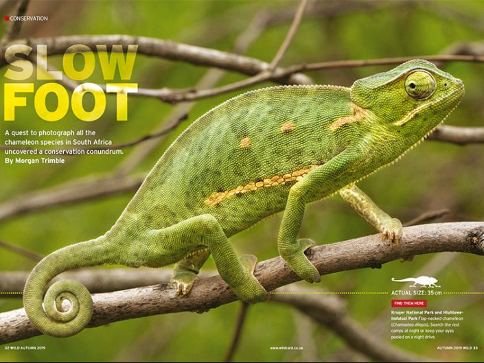 SlowFoot - The quest to find and conserve South Africa's Chameleons
