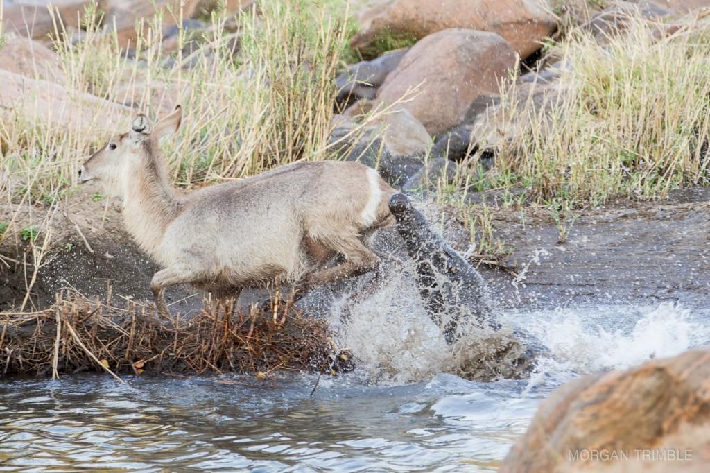 Waterbuck narrowly escapes a crocodile attack in the Shire river