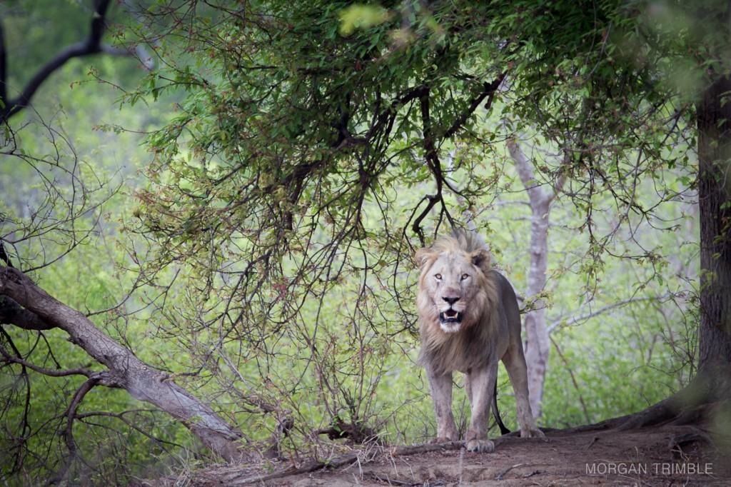 Lion in Majete Wildlife Reserve