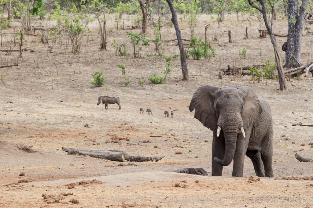 elephant and warthogs in Majete Wildlife Reserve