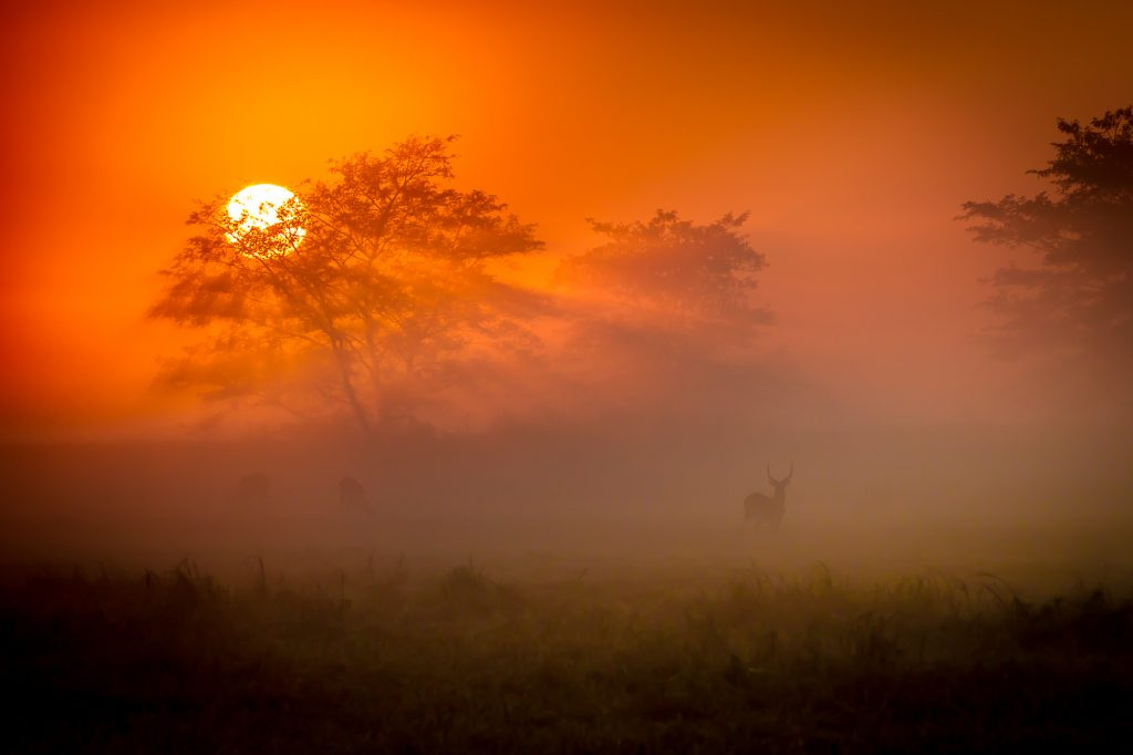 Lechwe in Busanga Mists