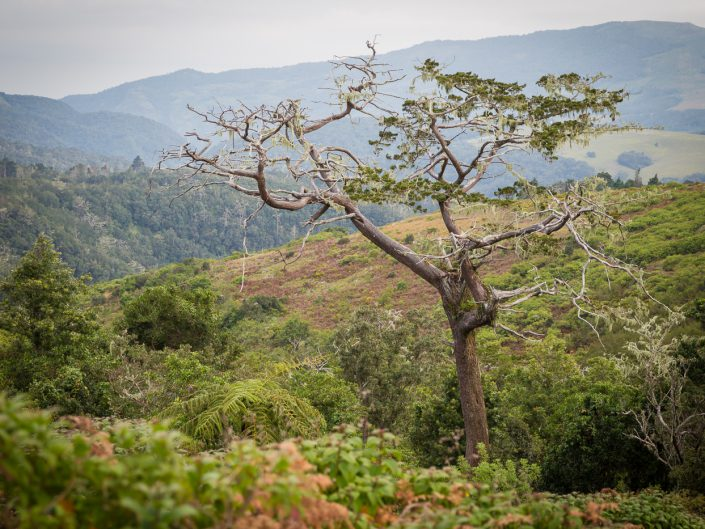 Mulanje cedar, Widdringtonia whytei, grows up to 50 m high and is a valuable timber species that was commercially exploited during British rule over Nyasaland. The cedar's pleasantly fragrant wood is poisonous to insects and repels rot and is thus very valuable.