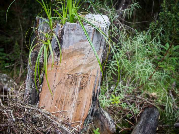 Illegal logging on the mountain is managed by poaching kingpins who mark territories with crude drawings. Some are rumoured to be involved in government and the Department of Forestry itself.