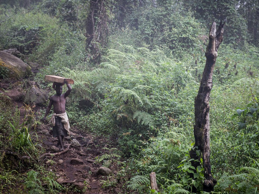 An illegal logger carries a massive beam of Mulanje cedar down the mountain. Most walk barefoot and work for very low wages. The small risk of being caught by forestry department officials isn't much of a deterrent.