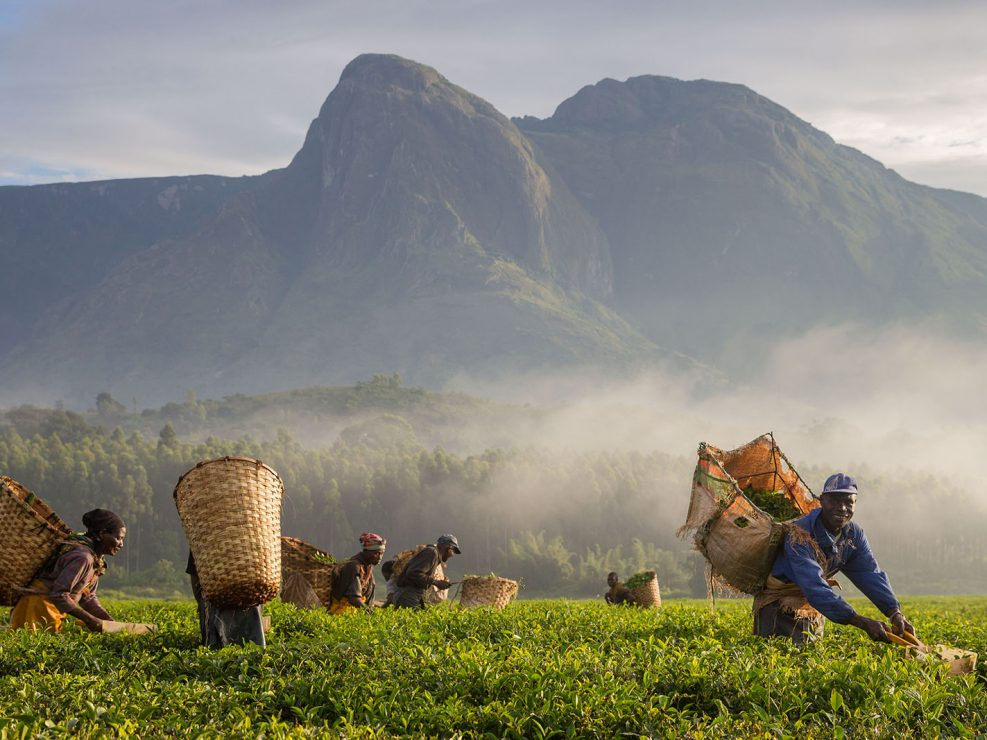Tea harversters smile for a photo at sunrise in the tea plantations surrounding Mount Mulanje. Picking tea is one of the limited opportunities for employment around the mountain. But there aren't enough jobs to go around. Alternatives are needed.