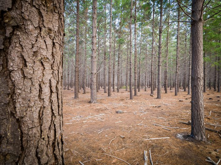 Exotic pine plantation, Lower Tokai, Table Mountain National Park, 2017